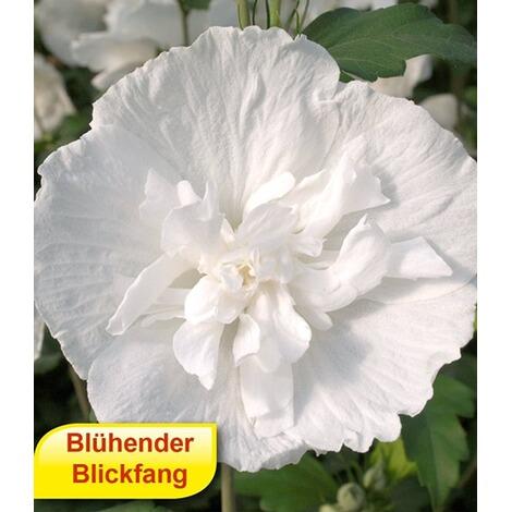 Gefüllter Hibiskus Chiffon weiß 1 Pflanze Hibiscus syriacus ...