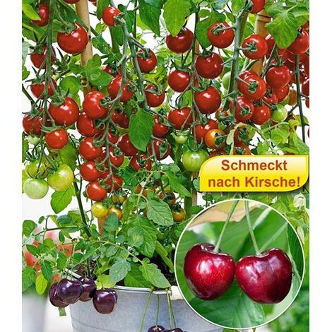 tomate tutti frutti kirsche 1 pflanze schmeckt nach. Black Bedroom Furniture Sets. Home Design Ideas