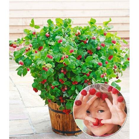 Topf Himbeere Ruby Beauty® 1 Pflanze Himbeeren Für Töpfe Und Kübel 1 ...