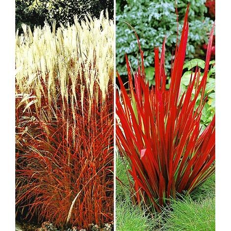 Gräser Pflanzen rote gräser kollektion 4 pflanzen kaufen die moderne hausfrau