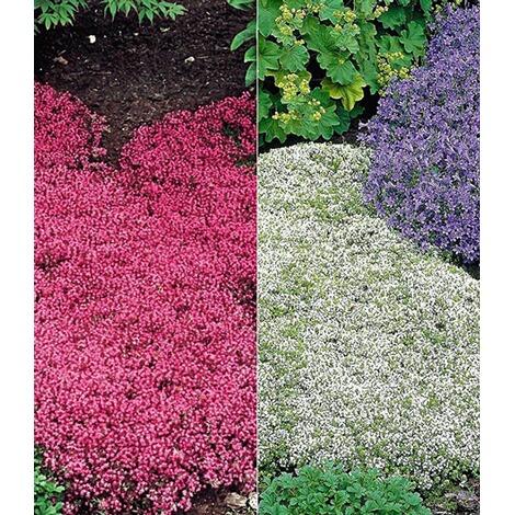 Bodendecker Winterhart Thymian Kollektion Rot Und Weiss 6 Pflanzen