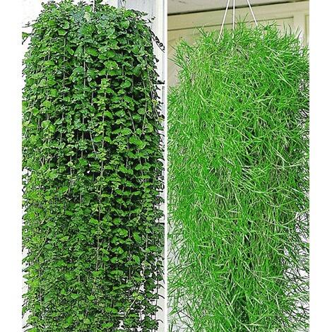 Balkon kollektion 4 pflanzen indian mint und h ngender for Green pflanzen