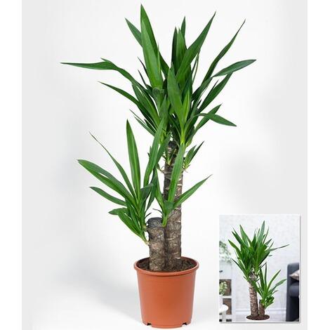 Yucca Palme Ca. 70 Cm Hoch,1 Pflanze 1