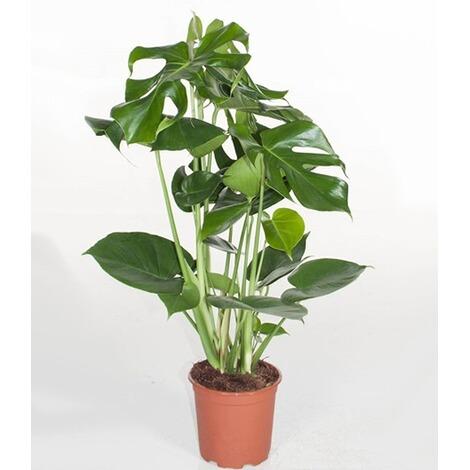 monstera fensterblatt ca 50 cm hoch 1 pflanze online kaufen die moderne hausfrau. Black Bedroom Furniture Sets. Home Design Ideas