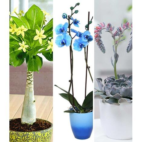 zimmerpflanzen mix bl hende lieblinge 3 pflanzen online. Black Bedroom Furniture Sets. Home Design Ideas
