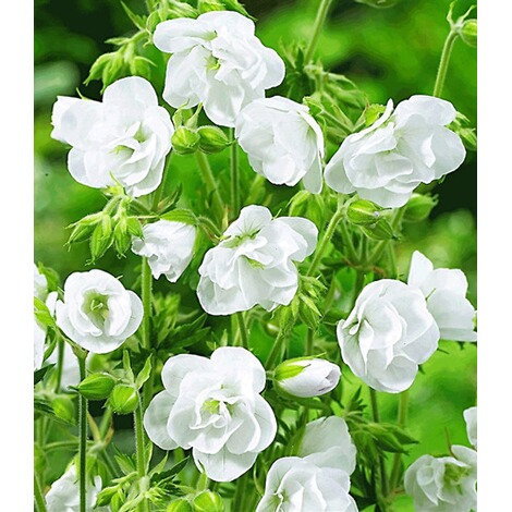 winterharte dauerbl her 19 pflanzen online kaufen die moderne hausfrau. Black Bedroom Furniture Sets. Home Design Ideas