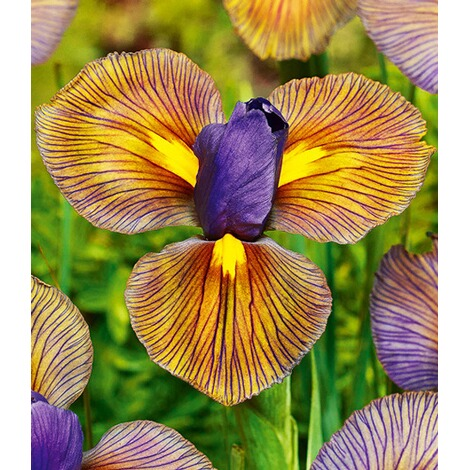 "Iris ""Eye of the Tiger"",12 Zwiebeln 1"